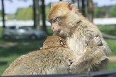 Monkey playing Royalty Free Stock Photo