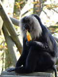 A monkey plays with a tree leaf Stock Image