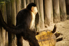 Monkey plays with a turtle on the island Mucura Colombia Royalty Free Stock Photography