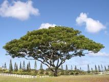 Free Monkey Pod Tree Stock Images - 21760254