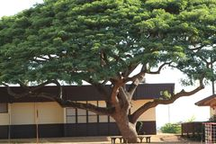 Monkey pod tree in the schoolyard royalty free stock photography