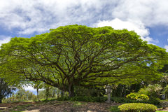 Monkey pod tree in Wailoa River State park in HIio Royalty Free Stock Images