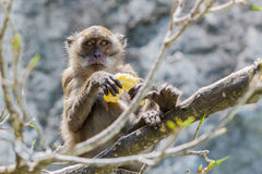 Monkey. Royalty Free Stock Photography