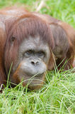 Monkey portrait 03. A curious orangutang in the grass Royalty Free Stock Photography