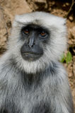 Monkey portrait. Portrait of a indian monkey Royalty Free Stock Image