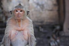 Monkey Portrait. Portrait of a monkey Lop buri in Thailand Royalty Free Stock Photo