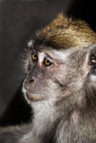 Monkey portrait Stock Image