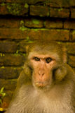 A monkey portrait. A monkey stares in front of brick wall Stock Image