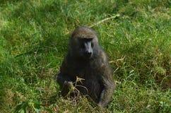 Monkey. A portrait of a monkey Royalty Free Stock Photos