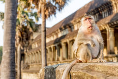Monkey portrait, angkor wat, cambodia Royalty Free Stock Images