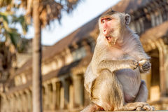 Monkey portrait, angkor wat, cambodia Stock Photo