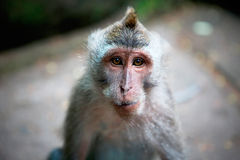 Monkey portrait Royalty Free Stock Image