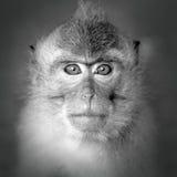 Monkey portrait Royalty Free Stock Photo