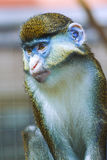 Monkey portrait, Cercopithecus. He sits thoughtfully Stock Photos