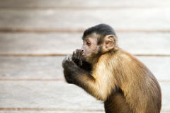 Monkey portrait Royalty Free Stock Photography