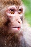 Monkey portrait Royalty Free Stock Images