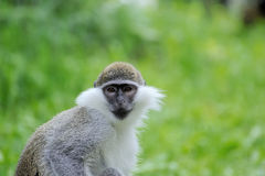 Monkey portrait. On a green background Stock Photography