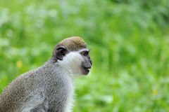 Monkey portrait. On a green background Royalty Free Stock Images