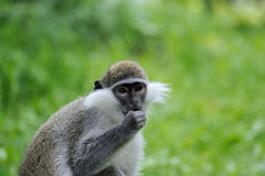 Monkey portrait. On a green background Royalty Free Stock Photos