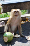 Monkey portrait. With green coconut on dirty street Royalty Free Stock Image