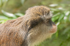 Young monkey portrait. Image was taken on June 2009 in Poland Stock Image