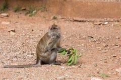 Monkey portrait, Krabi, Thailand Stock Images