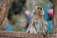 Monkey portrait, Krabi, Thailand Royalty Free Stock Photography