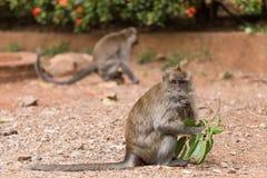 Monkey portrait, Krabi, Thailand Stock Image