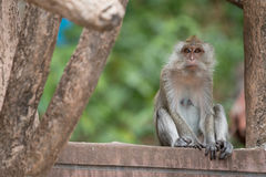 Monkey portrait, Krabi, Thailand Royalty Free Stock Images