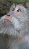 Monkey. Portrait of monkey (long-tailed macaques Royalty Free Stock Photography