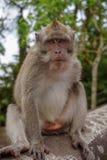Monkey portrait looking stock images