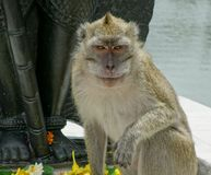 Monkey portrait at Mauritius Stock Images