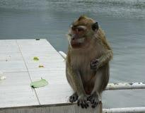 Monkey portrait at Mauritius. Monkey Lion-tailed  macaque portrait at Mauritius Royalty Free Stock Photos