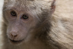 Monkey Portrait Royalty Free Stock Images