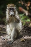 Monkey. Portrait, in a park of Senegal, Africa royalty free stock image