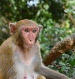 Monkey portrait. Rhesus Monkey or Rhesus Macaque Macaca mulatta, portrait of female mammal, on tree in Asian forest stock images