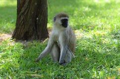 Monkey. A portrait of a sitting monkey Stock Photos