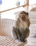 Monkey portrait on a table Stock Photos