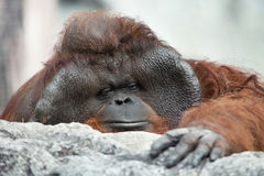 Monkey portrait. Portrait of thoughtful  sad orangutan in summer invironment Royalty Free Stock Photos