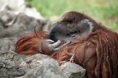 Monkey. Portrait of thoughtful  sad orangutan in summer invironment Stock Image