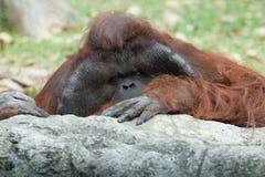 Monkey. Portrait of thoughtful  sad orangutan in summer invironment Stock Photography