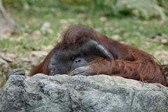 Monkey. Portrait of thoughtful  sad orangutan in summer invironment Royalty Free Stock Photography
