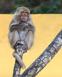 Monkey portrait on a tree Stock Images