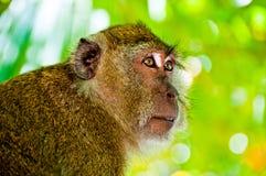 Monkey portrait. Tropic island Monkey portrait with light green leaves background Stock Images