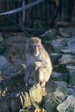 Monkey portrait in zoo Stock Image