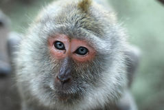 Monkey portraitnClose-up of a monkey face in a natural forest of Thailand. Stock Photos