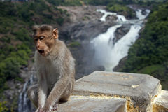 Monkey posing at Gagana Chukki Royalty Free Stock Images