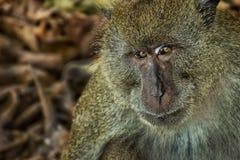 Monkey - Phi Phi Island, Thailand - stock photo