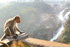 Monkey posing on Shimsa falls, India Royalty Free Stock Photo