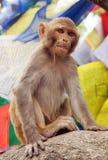 Monkey with prayer flags near swayambhunath stupa, Nepal Stock Photo